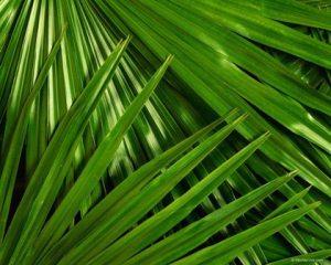 palmeira menor